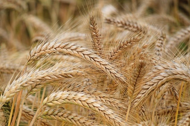 close-up-of-wheat-326082.jpg
